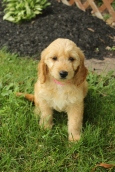 Mini Goldendoodle puppy at 8 weeks